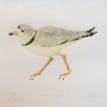 piping-plover-lg